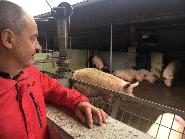 Bauer trägt rote Jacke und blickt auf die Schweine.
