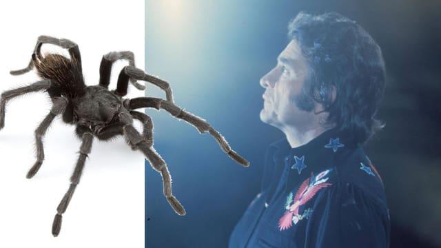 Collage aus einem Foto der Vogelspinne aphonopelma johnnycashi und einer Aufnahme von Johnny Cash.