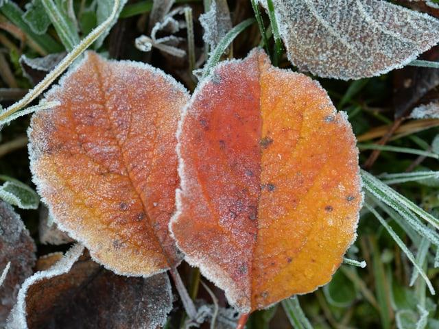 Bunde Blätter, die mit Reif überzogen sind.
