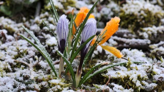 Krokusse unter einem Schäumchen Neuschnee.