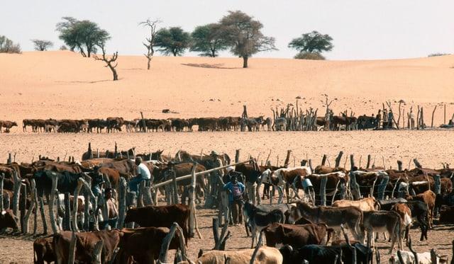 Viele Kühe in Gehegen, dahinter Wüste.