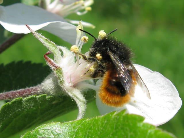 Biene auf weisser Blüte