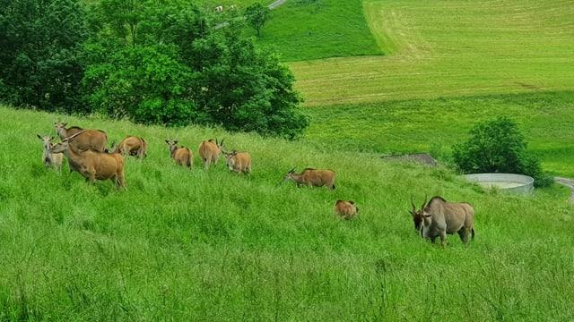Antilopenherde in hohem Gras.