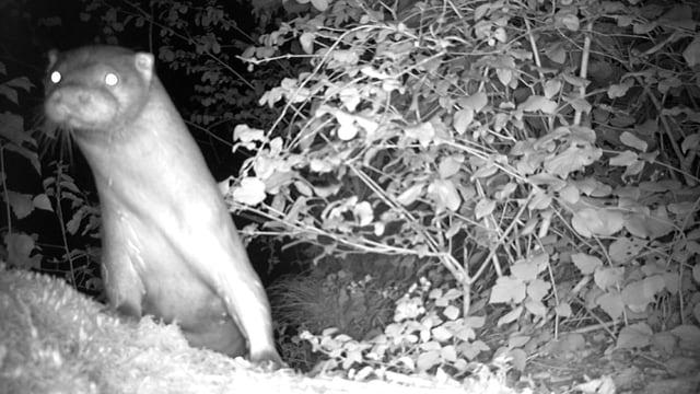 Fischotter schaut gespannt in die Kamera