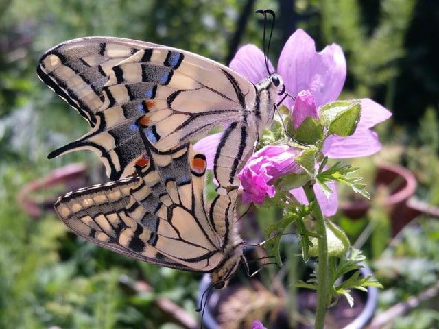 Ein Schmetterling auf eine lila Blume.