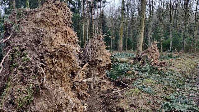 Umgestürtzte Bäume im Wald