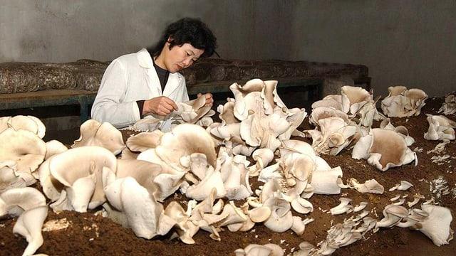 Eine Arbeiterin schneidet frische Pilze.