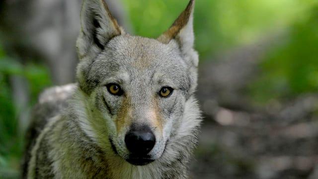 Wolf in der freien Natur