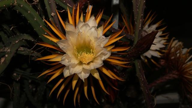 Vollständig geöffnete Blüte der «Königin der Nacht»