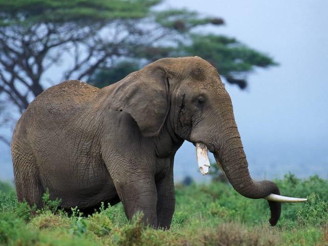 Elefant steht schlafend da.