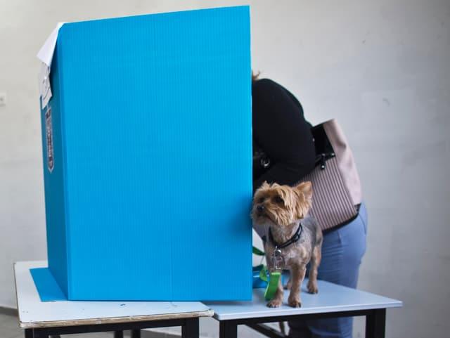 Frau in der blauen Wahlkabine verborgen, nur der Hund auf dem Tisch schaut hervor