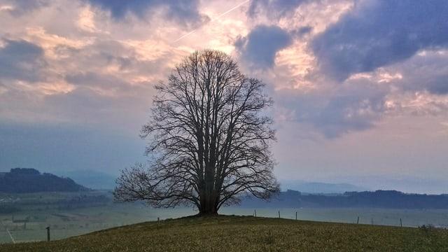 Kahler Baum auf grüner Wiese in Rümligen/BE.