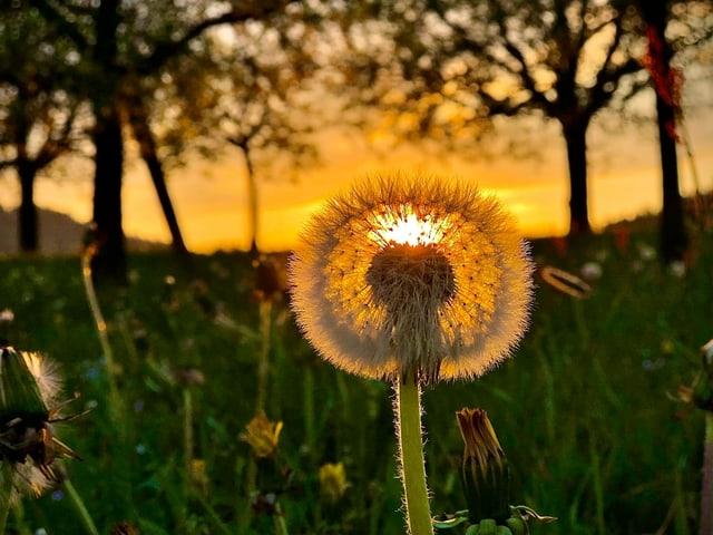 Pusteblume in Grossaufnahme bei Sonnenuntergang mit gelbem Himmel