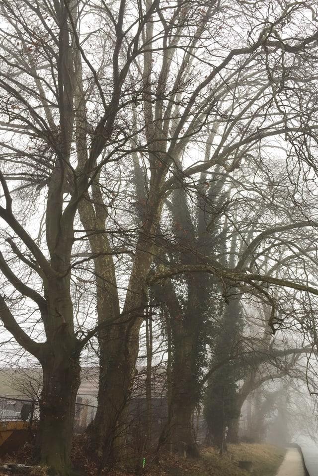 Bäume im Bally Park in Schönenwerd, die gefällt werden.