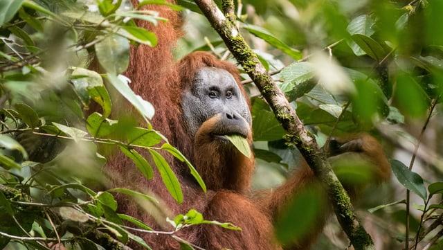 So klingt's, wenn der Orang Utan Weibchen anlocken will.