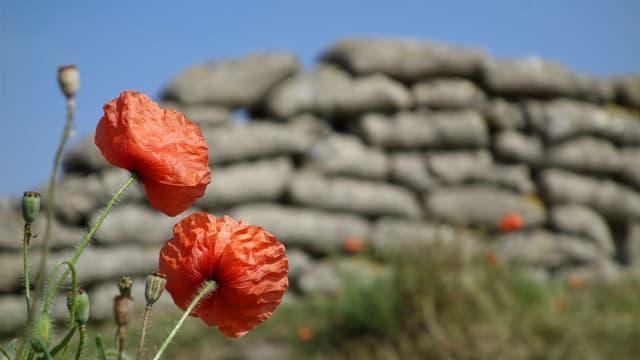 Roter Mohn blüht vor einer Steinmauer.