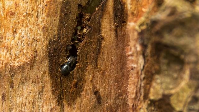 Ein Borkenkäfer frisst sich durchs Holz