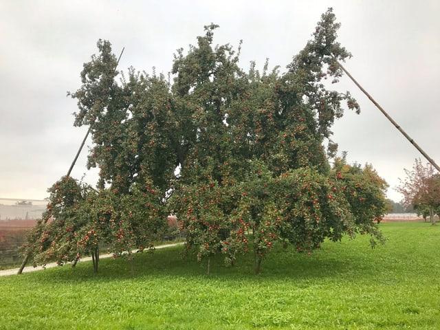 Ein grosser Apfelbaum.