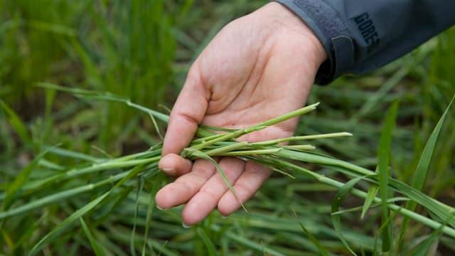 Eine Hand hält abgeschnittene Weizenhalme.