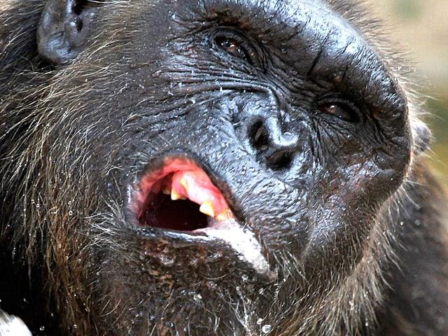 Nahaufnahme eines Schimpansen mit Wasser im Mundwinkel.