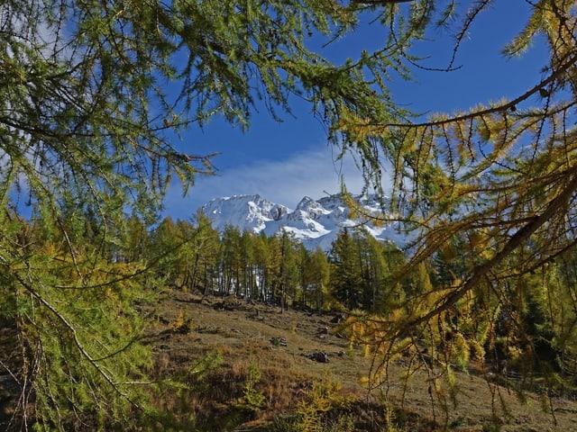 Gelbe und grüne Lärchen. Blick auf Schneeberge in den Alpen, blauer Himmel.