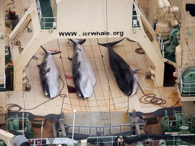 Drei tote Zwergwale von Nahem, die Tiere liegen auf Deck eines Schiffes.
