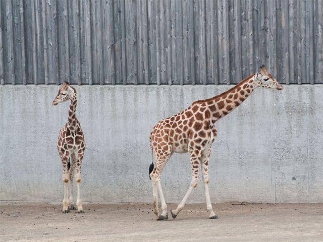 Umgeben von besonders hohen Zäunen: Die Knie-Giraffen.
