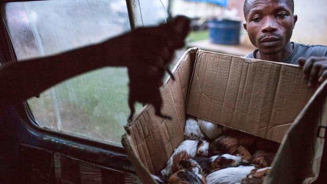 Ein Mann steckt ein Meerschweinchen in eine Kiste voller Nager.