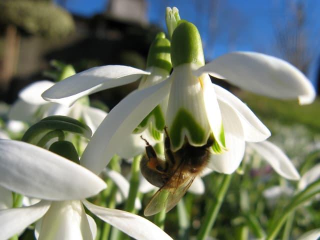 Eine Biene sucht im Kelch eines Schneeglöckchens nach Nahrung.