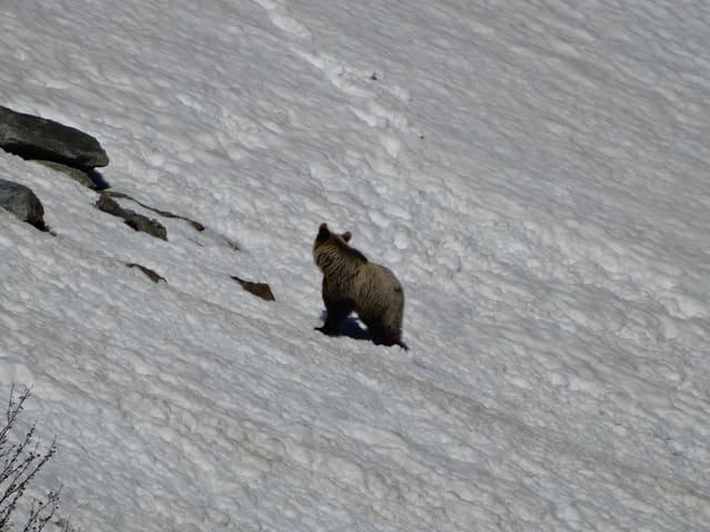 Bär in Schneefeld