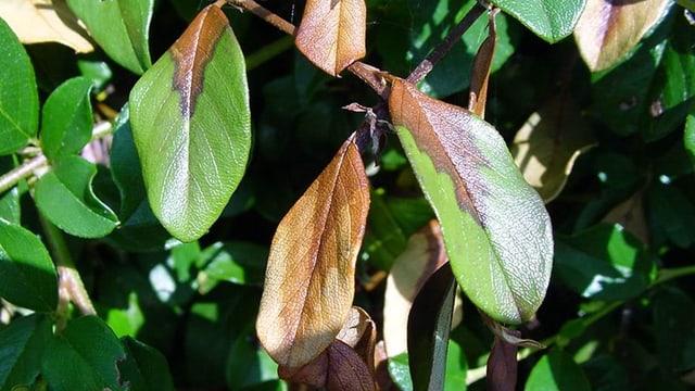 Foto einer befallenen Cotoneaster-Pflanze.