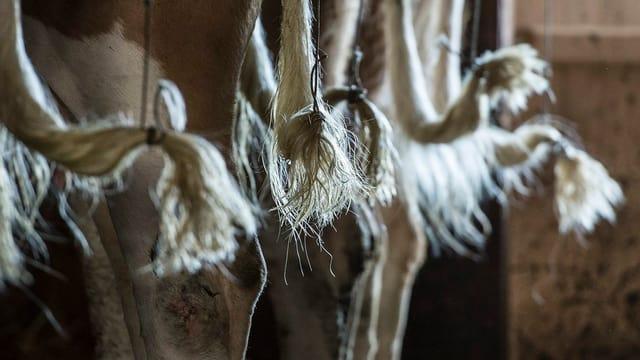 Eine Reihe von Kuhhintern, ihre Schwänze sind an Schnüren, die von der Decke hängen, befestigt.