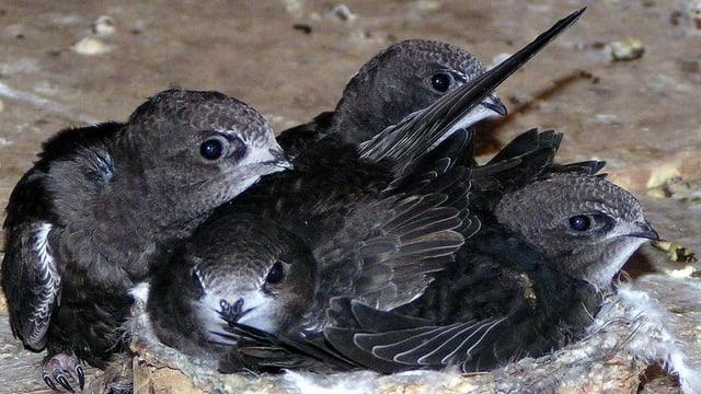 Junge Mauersegler im Nest