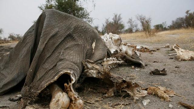 Überreste eines Elefanten, gewildert in einem Nationalpark in Zimbabwe.