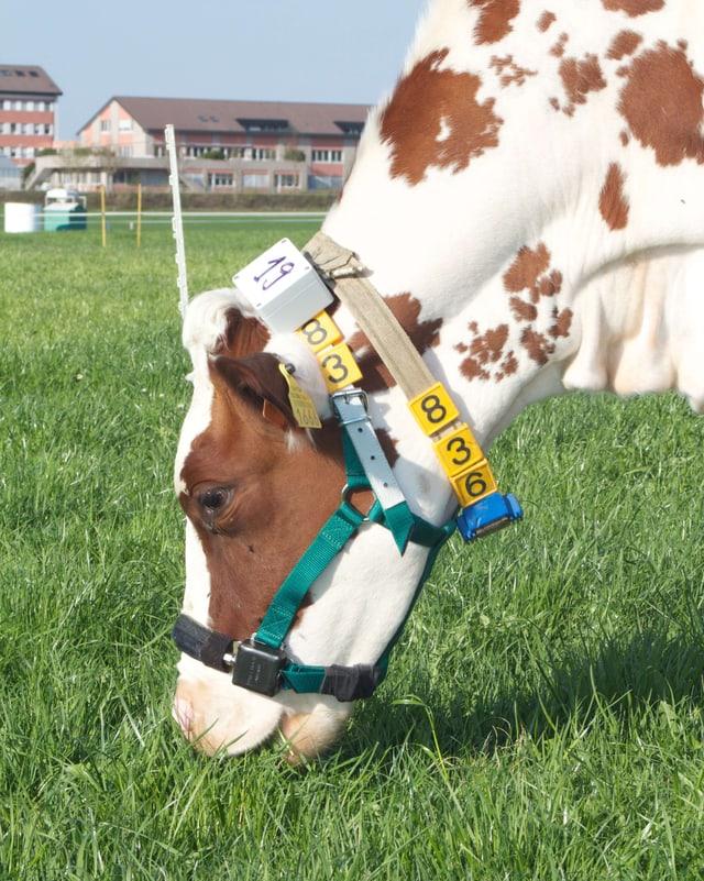 Eine Kuh grast, am Hals der Sensor und ein Band mit der Nummer 836