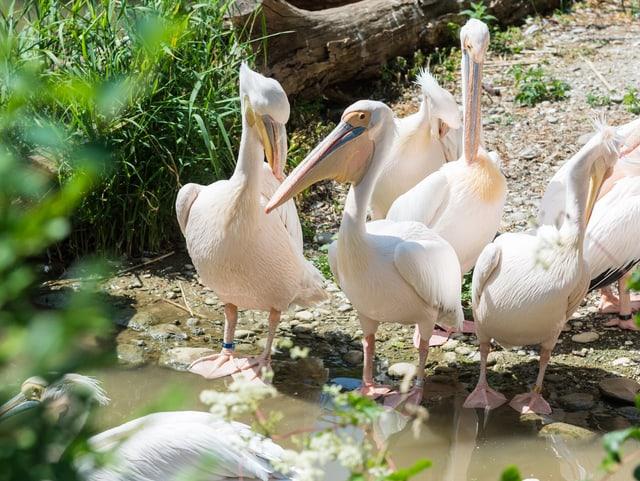 Pelikane am Wasser