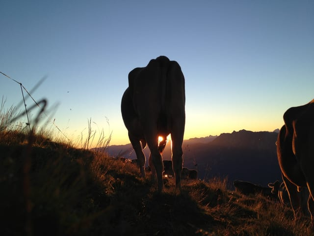 Ein Kuh weidet bei Sonneaufgang auf der Alp