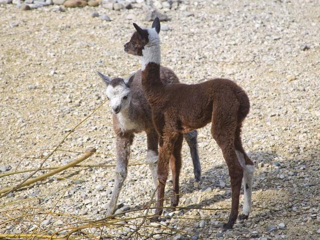 Ein brau-weisses und ein graues Alpaka-Fohlen