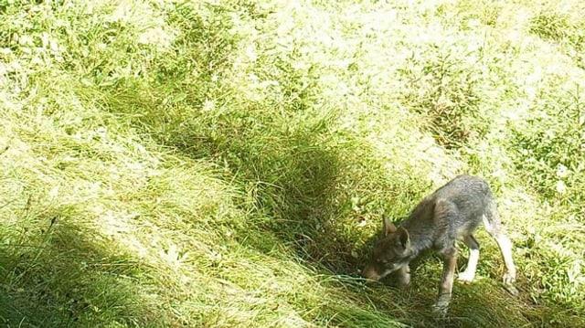 Ein Wolf des Calanda-Rudels auf grüner Wiese
