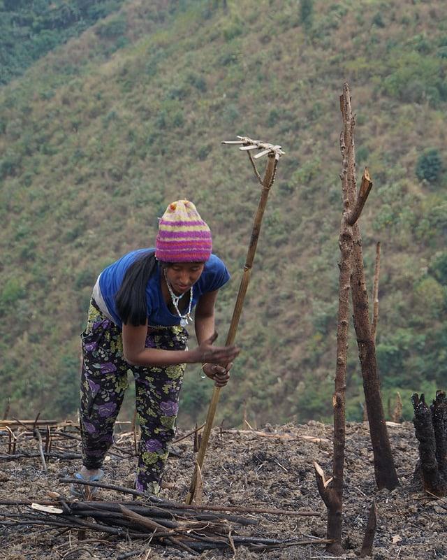 Eine Naga-Frau beim Rechen eines  frisch geschwendeten Feldes.