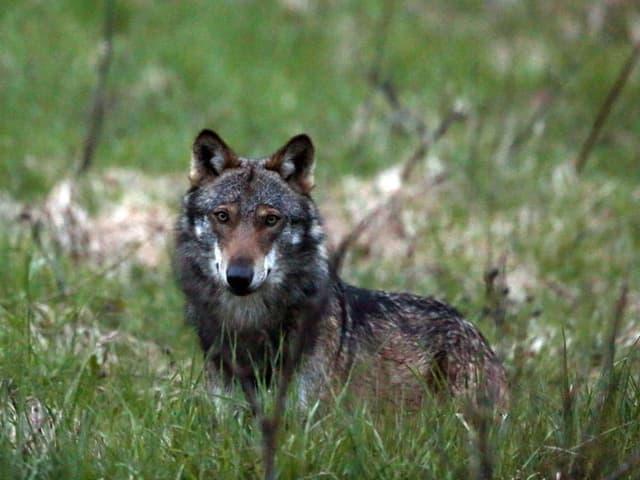 Ein Wolf im tiefen Gras.