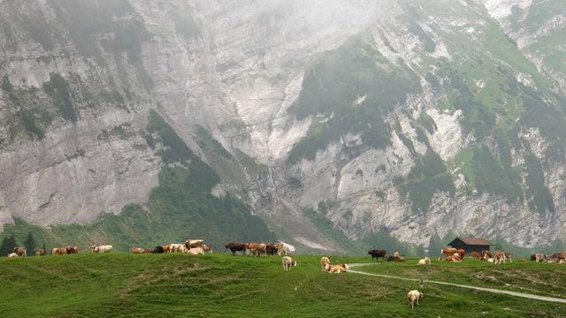 Alp an einem nebligen Sommertag. Kühe weiden neben dem kleinen Alpgebäude.