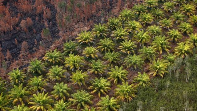 Ina plantascha da palmas.