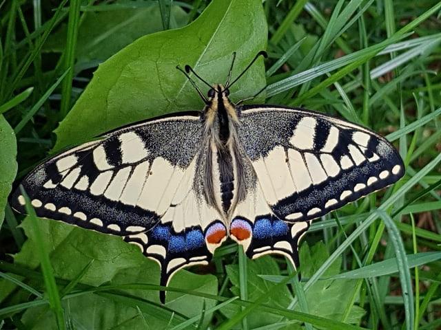 Schwalbenschwanz als Schmetterling