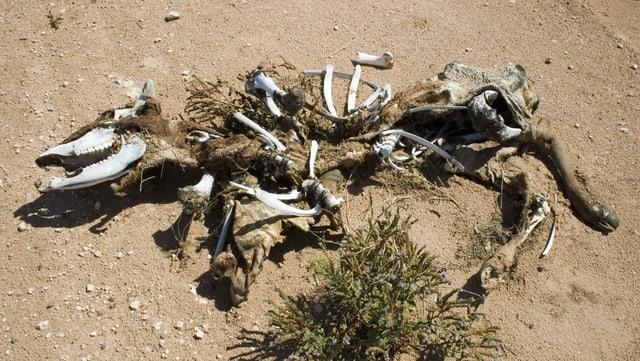 Das Skelett einer toten Kuh, eines Rinderkalbs, liegt in der Wueste von New Mexico