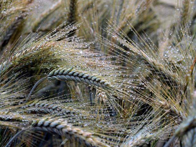 Es sind viele Weizenähren zu sehen. Sie tragen viele kleine Wasserperlen.