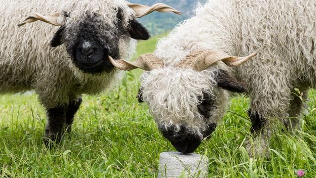Ein Schaf leckt an einem Salzstein, ein zweites steht daneben.