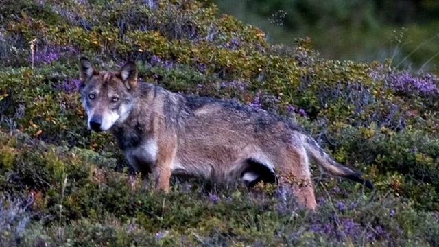 Neue Bilder der Calanda-Wölfe geschossen.