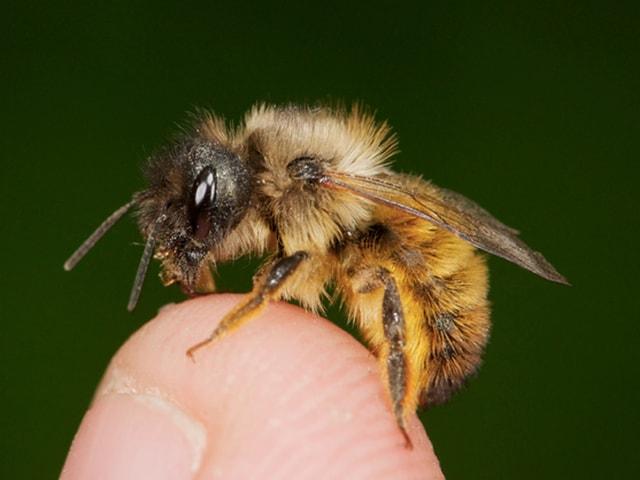 Biene auf sitzt auf einer Fingerkuppe