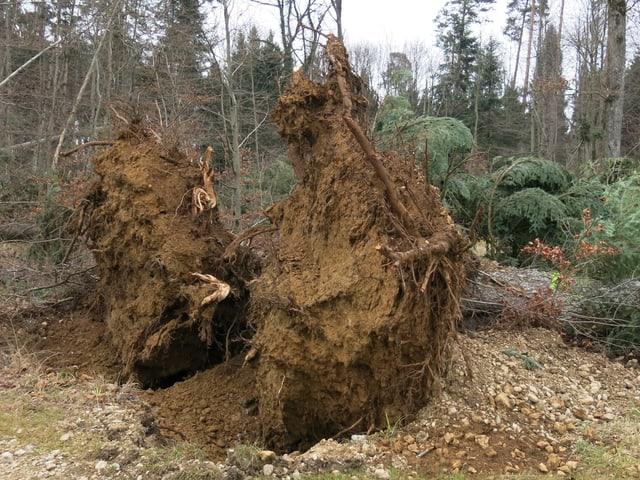 Zwei entwurzelte Bäume